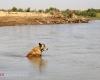 رهاسازی آب از سد کرخه به مناطق پایین دست